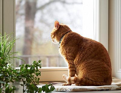 Cat sitting on window sill looking through window - p300m1028675f by Dieter Schewig