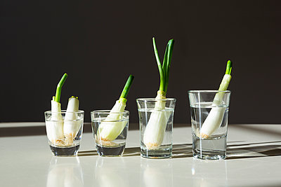 Regrowing green onions - p1149m2288214 by Yvonne Röder