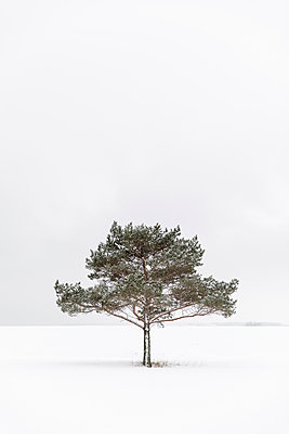 Tree in snow covered field - p352m2120140 by Åke Nyqvist