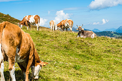 Cow on mountain pasture - p488m938572 by Bias