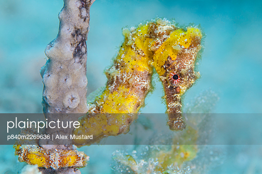 Yellow longsnout seahorse (Hippocampus reidi) female holds onto a sea rod with its prehensile tail, on a coral reef. West Bay, Grand Cayman, Cayman Islands, British West Indies. Caribbean Sea. - p840m2269636 by Alex Mustard