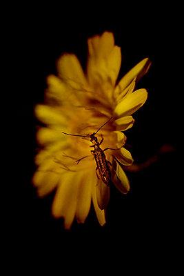 The False Oil Beetle (Oedemera nobilis) on an Asteraceae (Hawksbeard, Crepis sp.)  , Luberon, Provence, France - p1028m2204662 by Jean Marmeisse