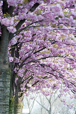 Cherry trees in full bloom - p624m1045679f by Odilon Dimier