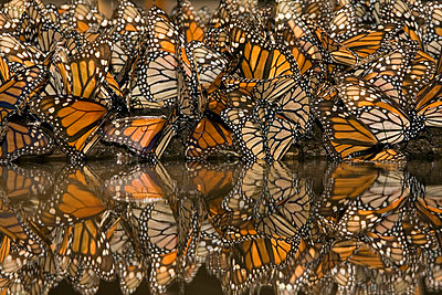 Monarch butterflies gathering to drink water and take up minerals - p8845021 by Ingo Arndt
