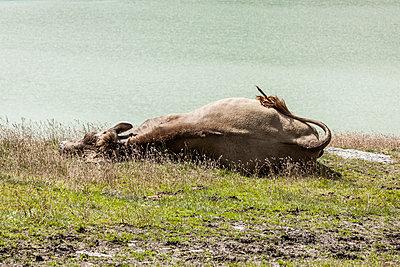 Kuh im Gebirge - p248m1181483 von BY