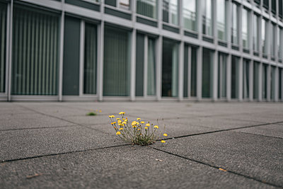 Flowers growing among pavement flags - p586m1178780 by Kniel Synnatzschke