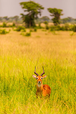 Antelope in Queen Elizabeth National Park, Uganda, East Africa - p871m2122984 by Laura Grier