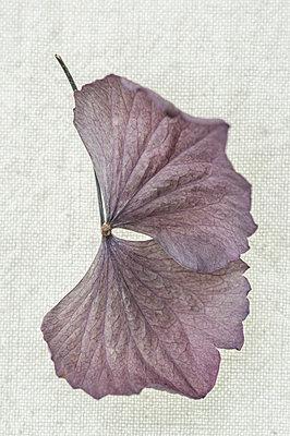 Hydrangea petals - p971m1222608 by Reilika Landen