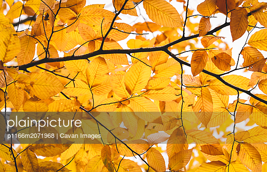Close up of golden yellow Autumn leaves on a tree branch - p1166m2071968 by Cavan Images