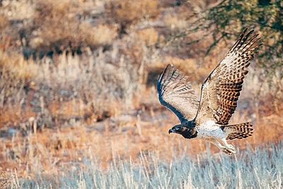 Adler im tiefen Flug, Kalahari, Südafrika - p1065m982673 von KNSY Bande