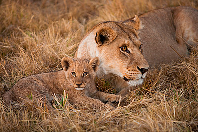 African lion and cub - p1100m887752f by Art Wolfe