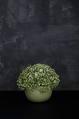 green hydrangea in green pot - p1470m1539156 by julie davenport