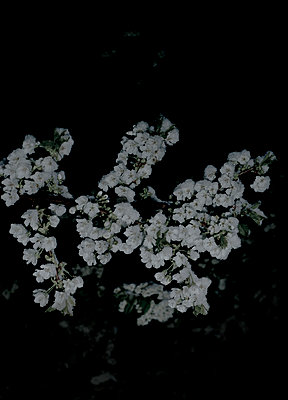 Cherry blossoms at night - p1279m1355596 by Ulrike Piringer