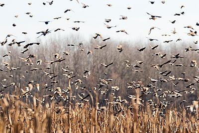 Flock of black birds leaving a field - p1480m2229499 by Brian W. Downs