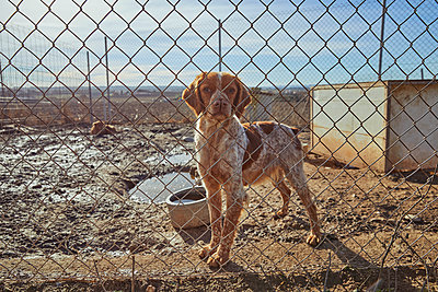 Hunting dog standing behind fence on mud during sunny day - p300m2250067 by Aitor Carrera Porté