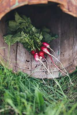 High angle view of red radishes in wooden container at field - p301m1180667 by Vasily Pindyurin