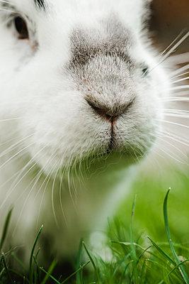 Weißes Kaninchen, Nahaufnahme - p1628m2212000 von Lorraine Fitch