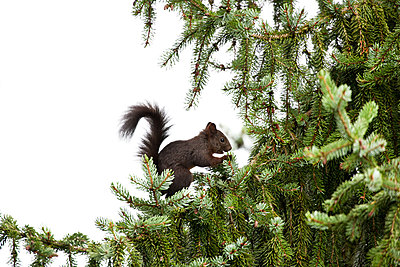 Junges Eichhörnchen im Fichtenbaum - p533m1496807 von Böhm Monika