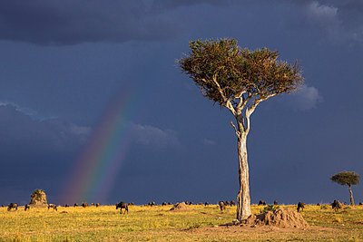 Kenya, Masai Mara, Narok County.  Wildebeest graze the grassy plains of Masai Mara National Reserve as a rainbow in a threatening sky heralds an approaching rainstorm. - p652m941639 by Nigel Pavitt