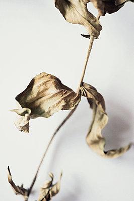 Vertrocknete Blume - p947m1194544 von Cristopher Civitillo