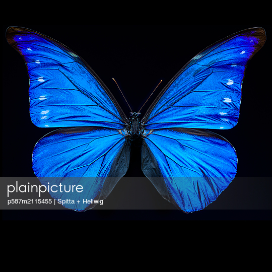 Blue butterfly - p587m2115455 by Spitta + Hellwig