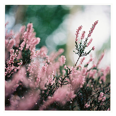 Pink heather with bokeh - p1184m963201 by brabanski
