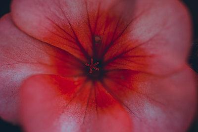 Nahaufnahme einer rosa Blume - p1628m2210609 von Lorraine Fitch