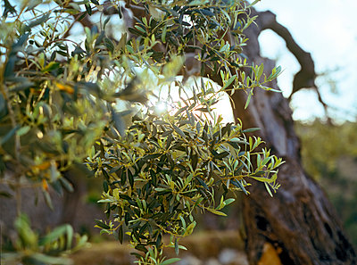 Olive tree - p885m1087466 by Oliver Brenneisen