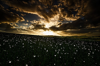 Setting Sun, White Poppies, Dramatic Sky - p1166m2207959 by Cavan Images