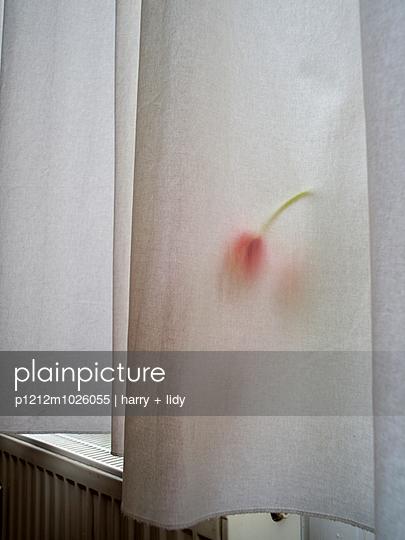 Curtain and tulip
