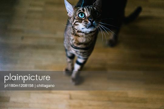 Bengalkatze mit türkisen Augen blickt nach oben - p1180m1208158 von chillagano