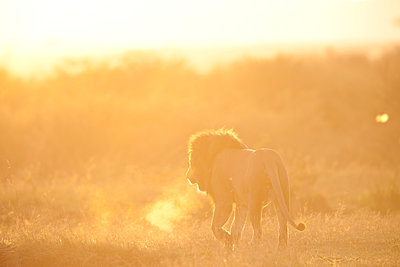 Walking lion at sunrise - p533m1451905 by Böhm Monika
