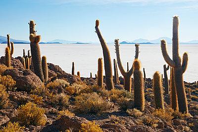 Cactus on Incahuasi Island Salar de Uyuni - p719m1131796 by Rudi Sebastian