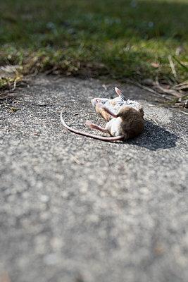 tote Maus - p954m1558991 von Heidi Mayer