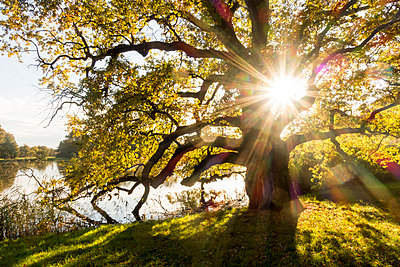 Czech Republic, South Moravian Region, Lednice, Landscape garden, Old Oak Tree, Quercus, at lake - p300m978787f by Karl Thomas