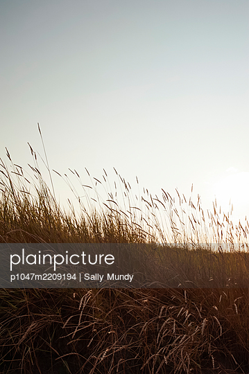 Close-up of tall meadow grass blown in the wind at sunset - p1047m2209194 by Sally Mundy