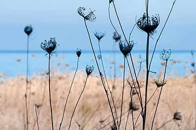 Dried wild carrots with turquoise sea in the background - p1580m2210128 by Andrea Christofi