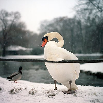 Swan and snow - p1610m2185293 by myriam tirler