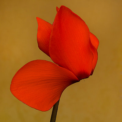 Flaming Red Cyclamen against Amber Background, Close-up - p694m2068450 by Lori Adams