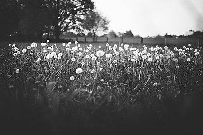 Dandelions - p1002m740754 by christian plochacki
