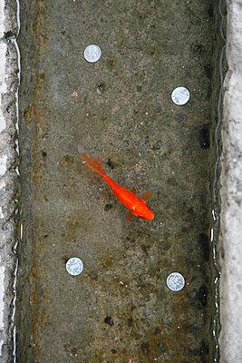 Einsamer Fisch - p249m1516877 von Ute Mans