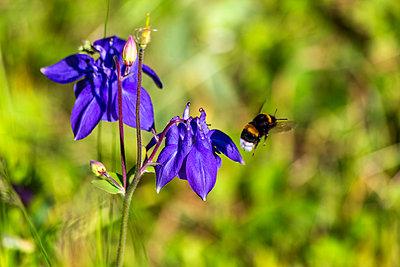 Bumblebee flying by purple blooming columbines(Aquilegia) - p300m2199379 by Nabiha Dahhan
