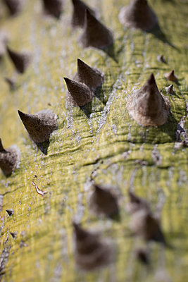 Close-up of thorns on tree trunk - p301m1101987f by Tobias Titz