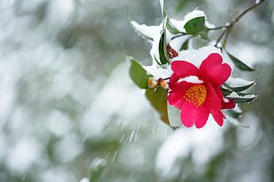 Christmas Camellia - p307m1011977f by Tetsuya Tanooka