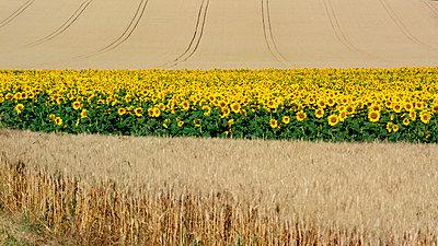 Cereals field - p813m857016 by B.Jaubert
