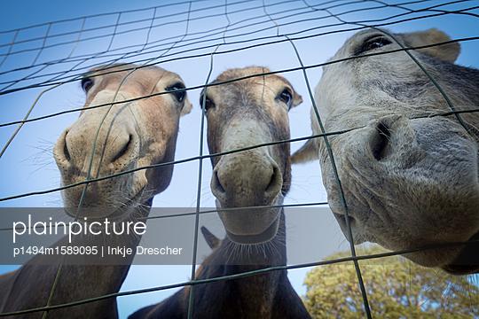neugierige Esel - p1494m1589095 von Inkje Drescher