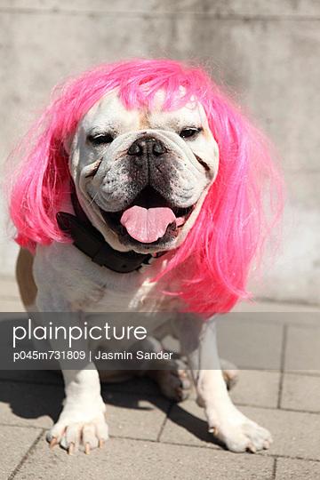 Bulldog with wig - p045m731809 by Jasmin Sander