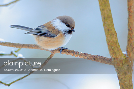 Siberian tit (Poecile cinctus) perched, Ivalo, Finland. March - p840m2269810 by Andres M. Dominguez