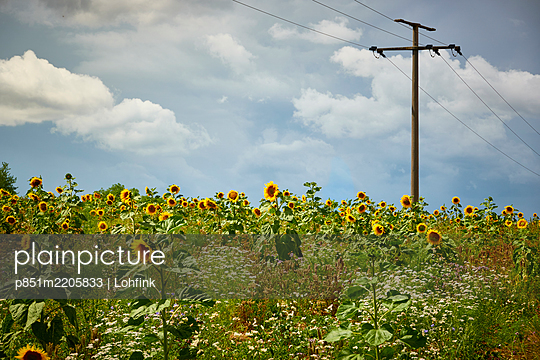 Feld mit Sonnenblumen unter einer Überlandleitung - p851m2205833 von Lohfink