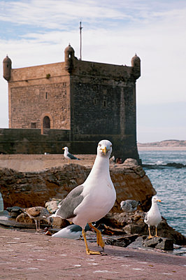 Seagulls on the fortress wall - p382m1194969 by Anna Matzen